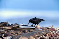 A Starling searches a shell dump for food