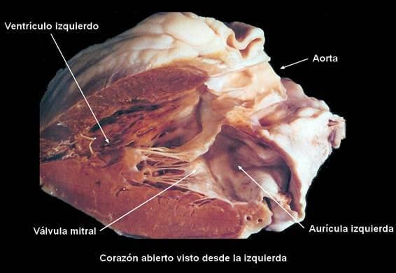 anatomia-cardiaca-ventriculo-izquierdo.jpg