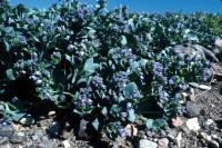 Oysterplant grows on a shingly beach.