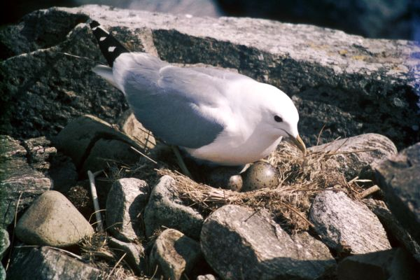 A Common Gull on the nest