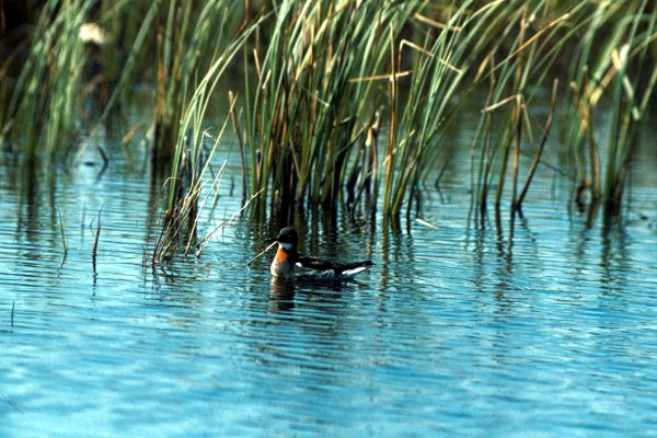 Red-necked Phalarope on the water