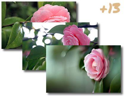 Camellia theme pack