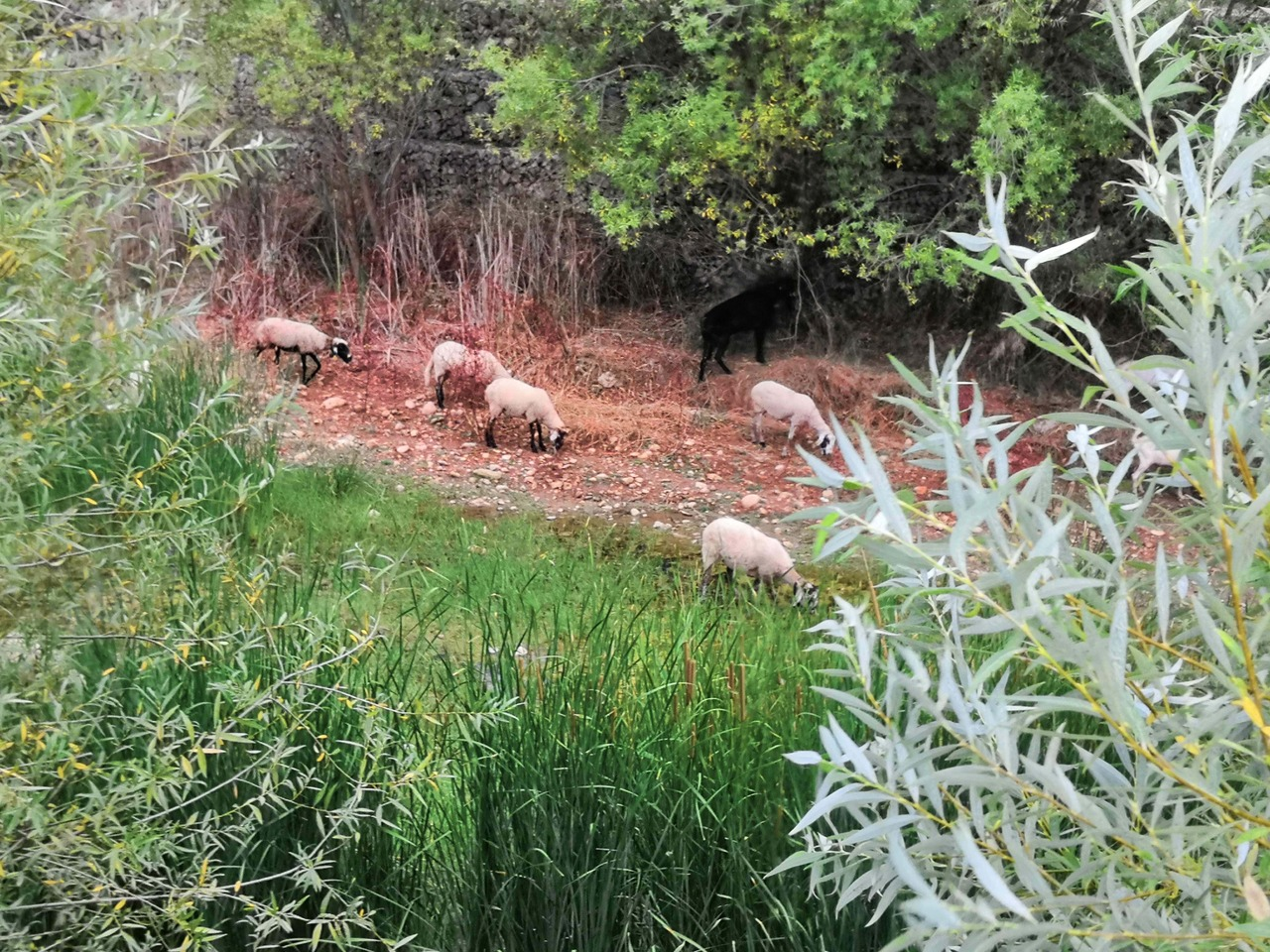Sheep grazing in a river valley