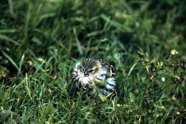 A Siskin takes a break on the ground