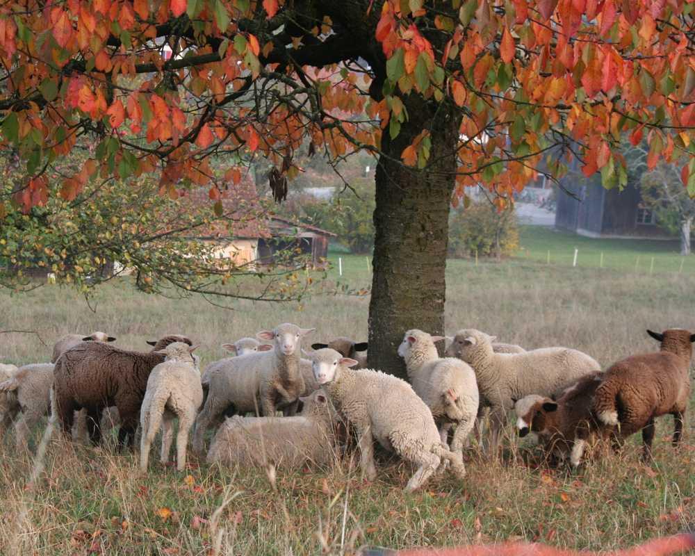 Schafe im Rebberg