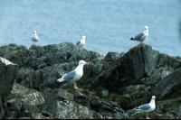 A group of gulls on the rocks