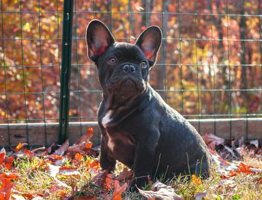 French Bulldog Shedding: How Bad Is It Really?