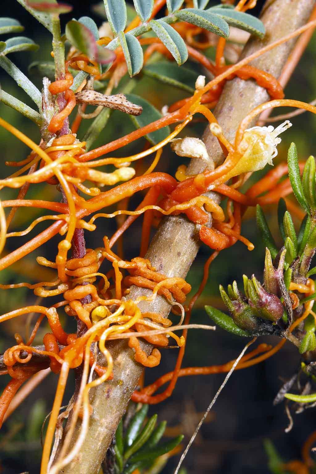 Dodder (Cuscuta americana) is a parasitic climber