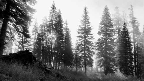 Trees silhouetted in sunlight and fog