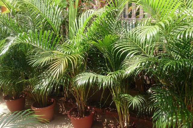 Areca Palm - Removes CO2 and produces lots of oxygen. Its health benefits will boost your energy and productivity.