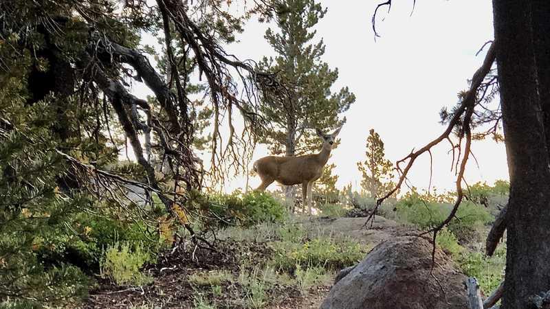A mule deer grazing