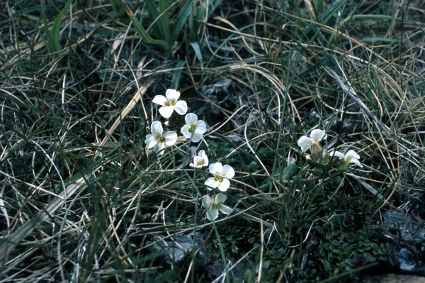 Northern Rock-cress in the grass