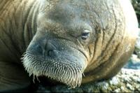 A close-up of a Walrus's Head