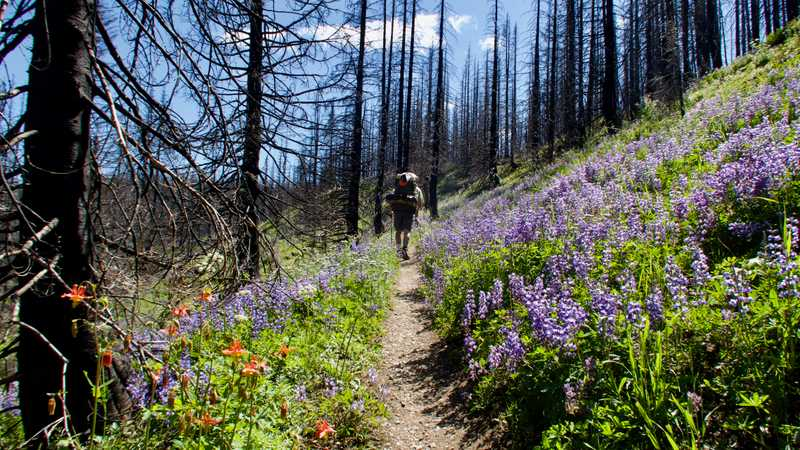 Walking on the PCT with lupines lining the trail