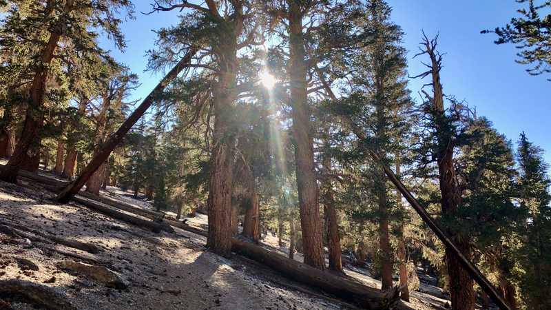 Low sun shining through trees