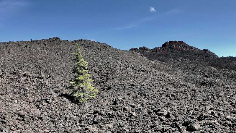 A small tree tries to grow among lava rocks and cinders