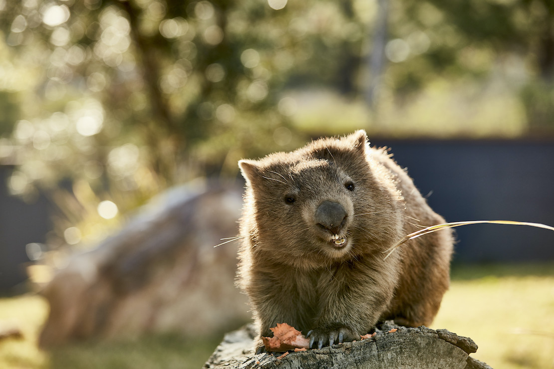 Wombats like sweet potatoes (credit: Destination NSW)
