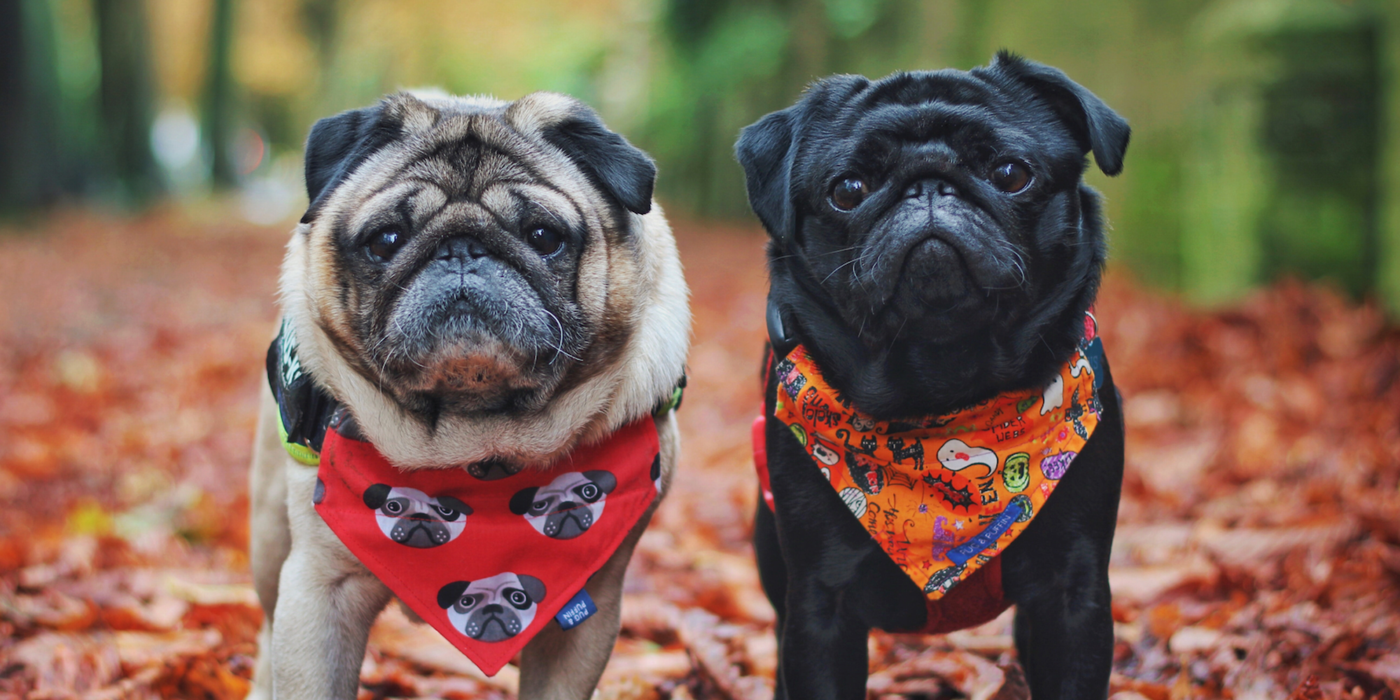 two pugs standing in the forest