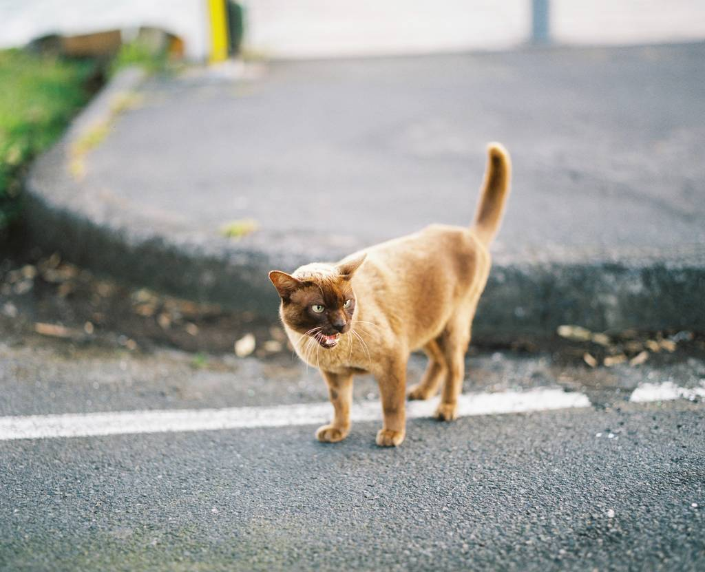 A beige coloured cat hissing at me
