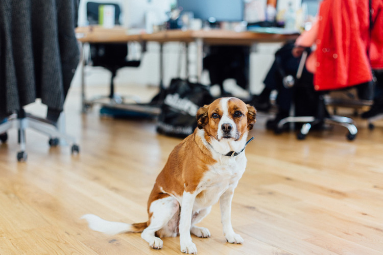 Indie our office dog