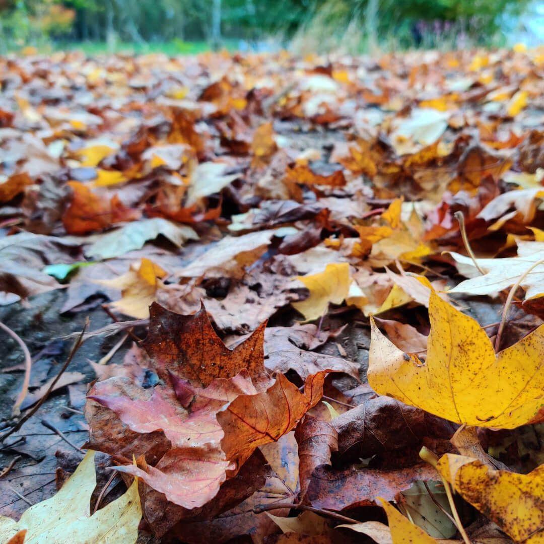 Adel Wood leaves