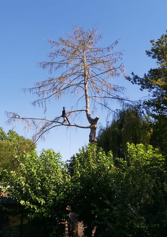Baumfällung einer Lärche in Leipzig