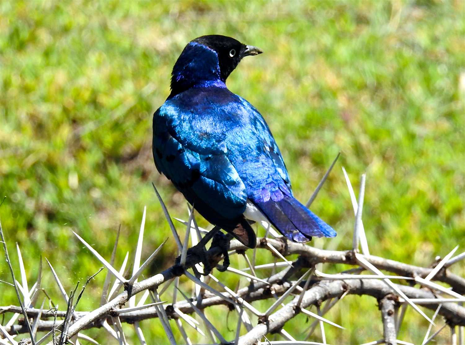 Tanzania Superb Starling