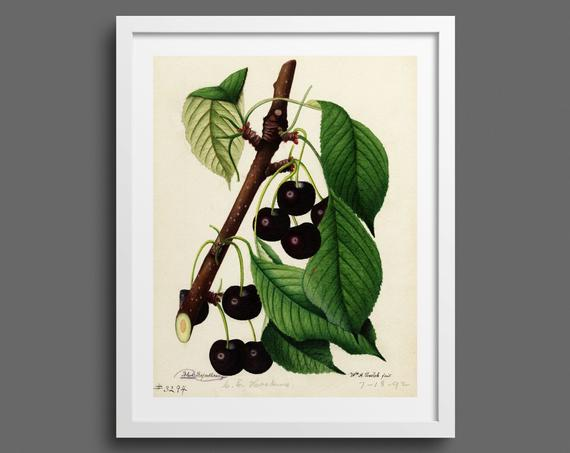Cherry Branch and Leaves