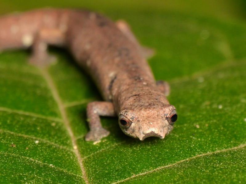 A variedade das salamandras