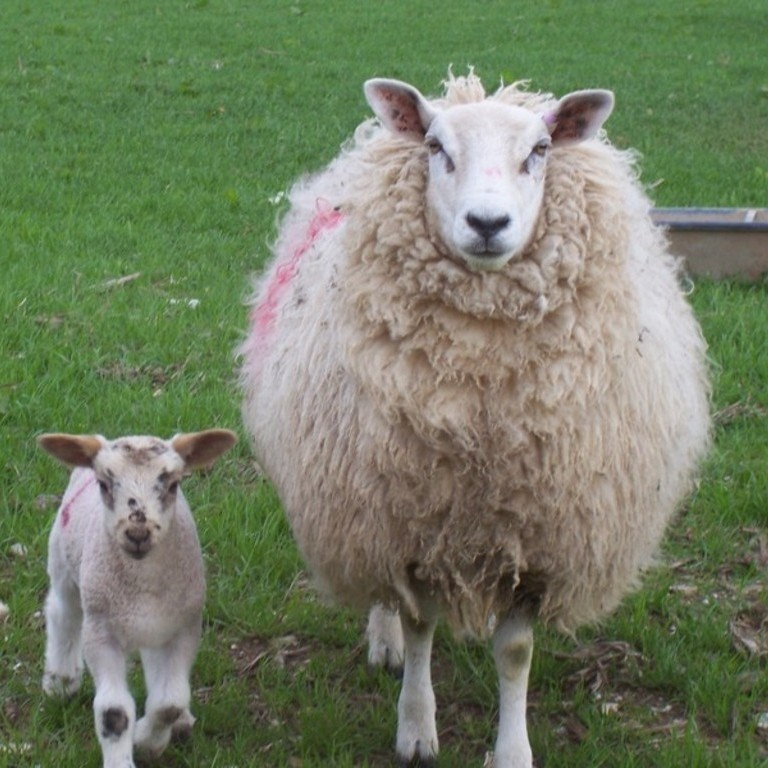 A little sheep and a big sheep