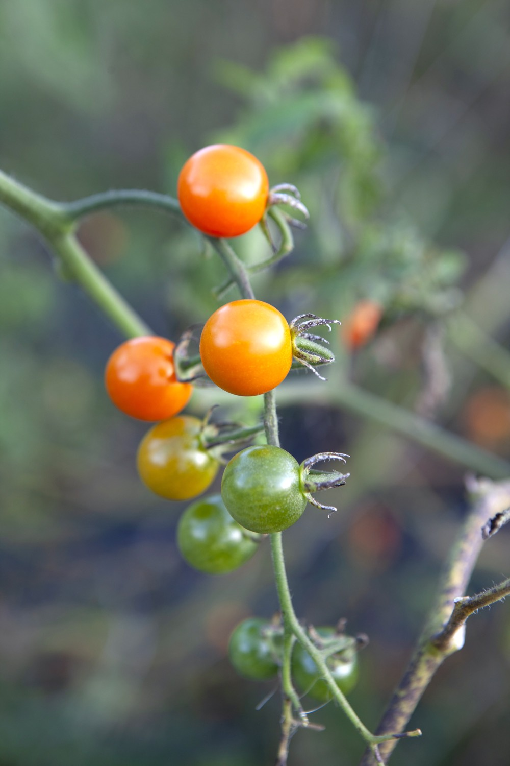 Small tomatoes on the vine at Avrom Farm.