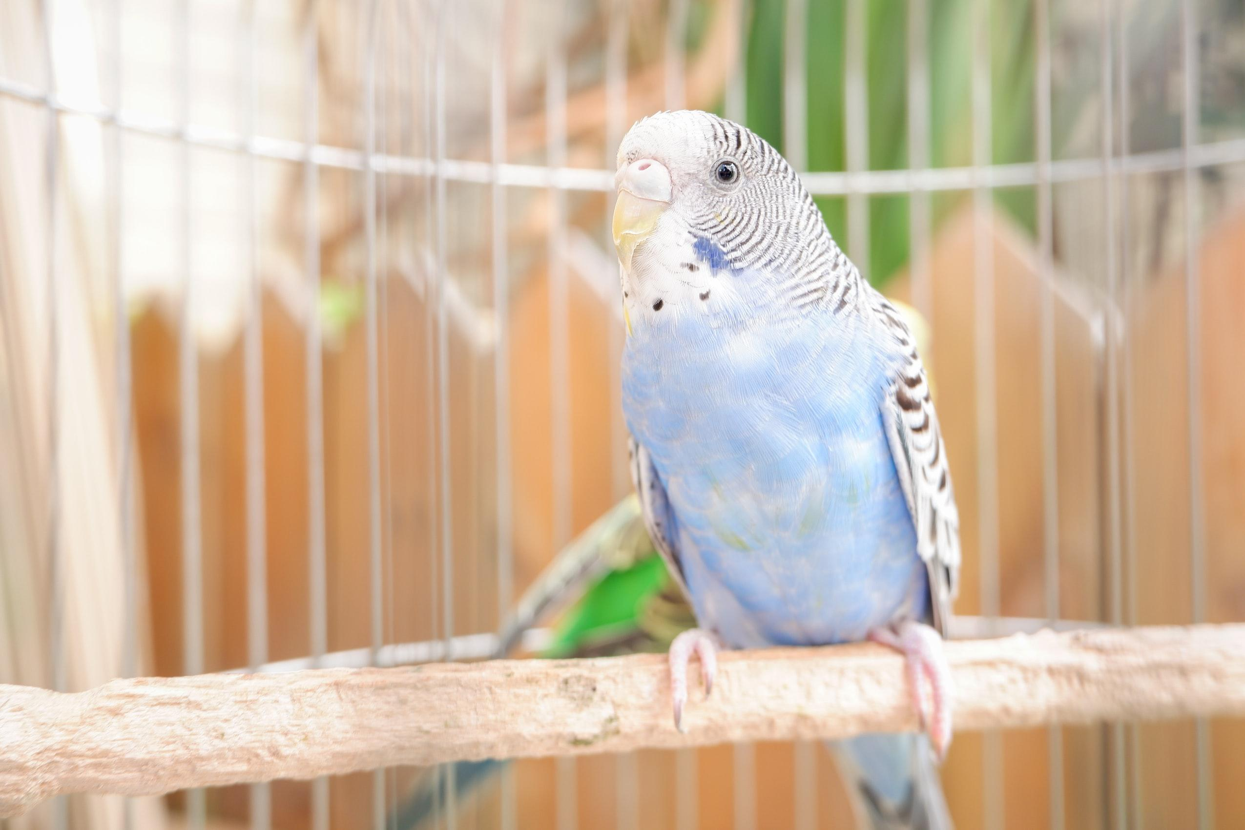 Blue Budgie sitting on the branch