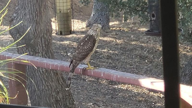 A hawk visit in Paso Robles