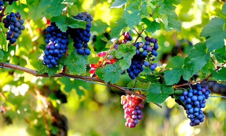 Branch of purple wine grapes