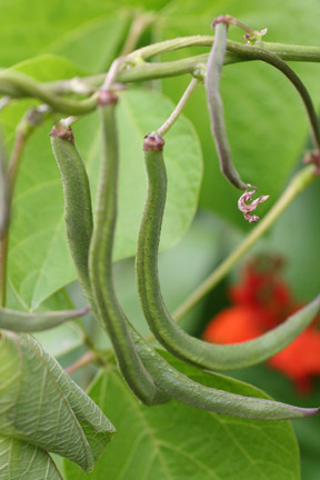 A group of runner bean pods ready for picking