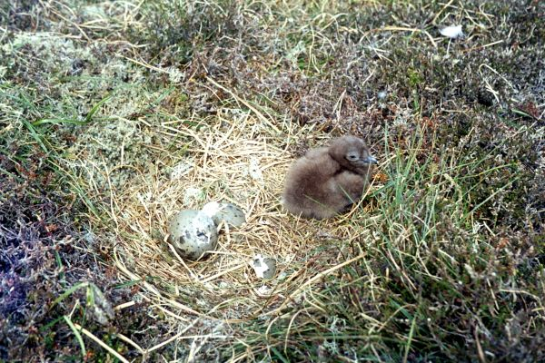 A Great Skua chick in the nest