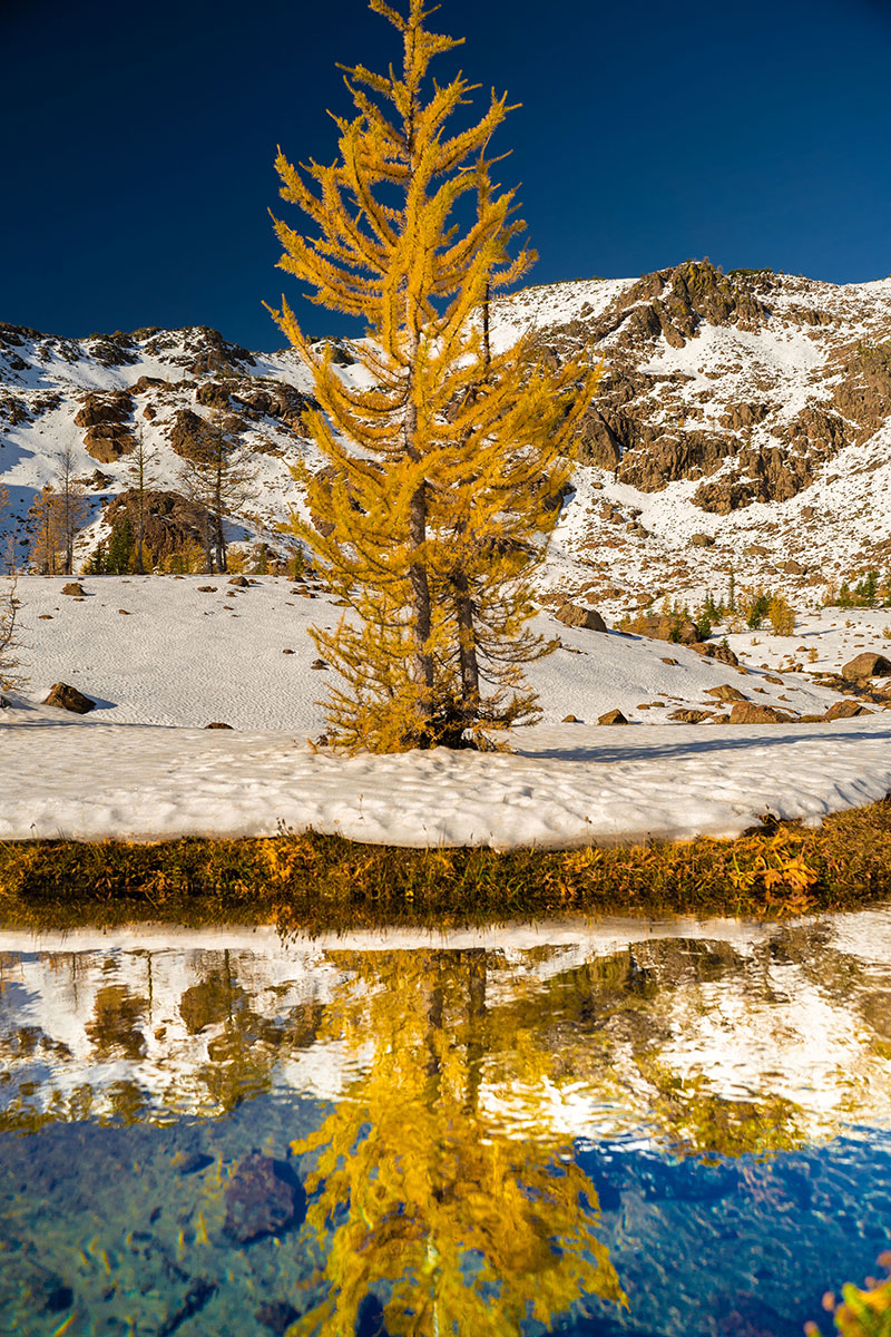 Fall Larch Trees in October in Washington's North Cascade National Park