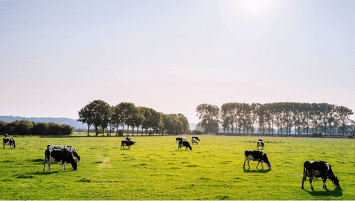 Dairy farm cows graze on grass filed with trees. Business measure top KPI #keyperformanceindicator