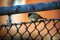 A Blackcap perches on a railing