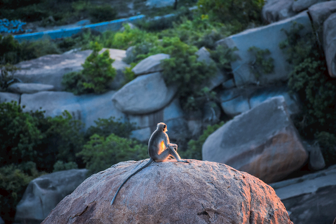 A monkey sitting on a rock at sunset, looking like its thinking deep thoughts.