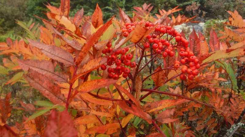Chokeberry bushes on Bemis Mountain Second Peak