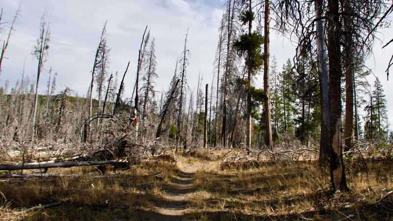 Burnt trees in Badger Valley