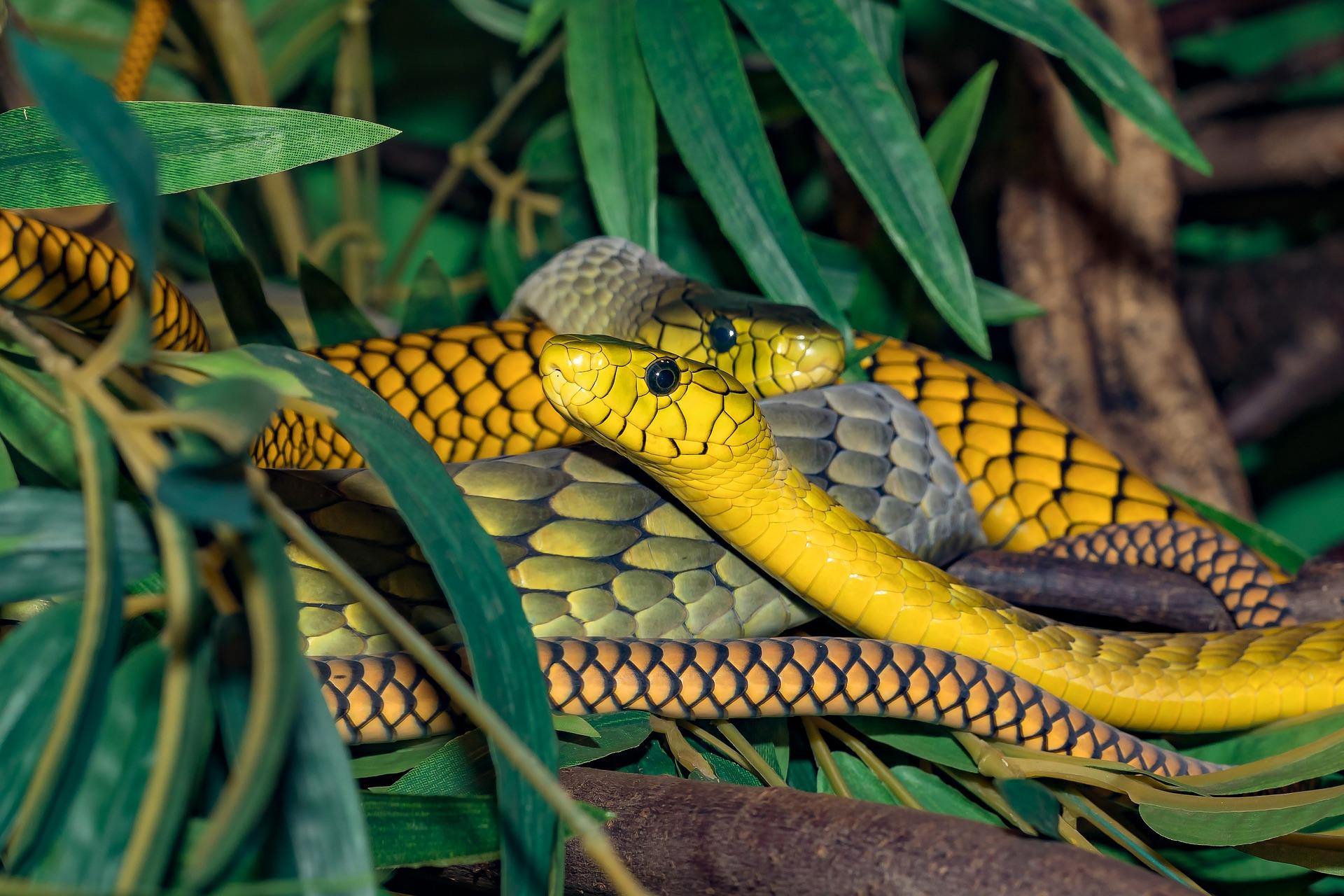 Serpientes venenosas amarillas