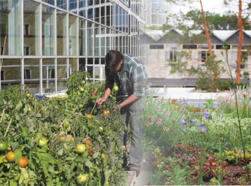 Man gardening tomatos outside the U of S agriculture builing