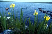 Yellow Iris beside the Littlester Loch