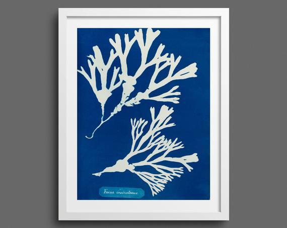 Vintage Algae Cyanotype Print by Anna Atkins