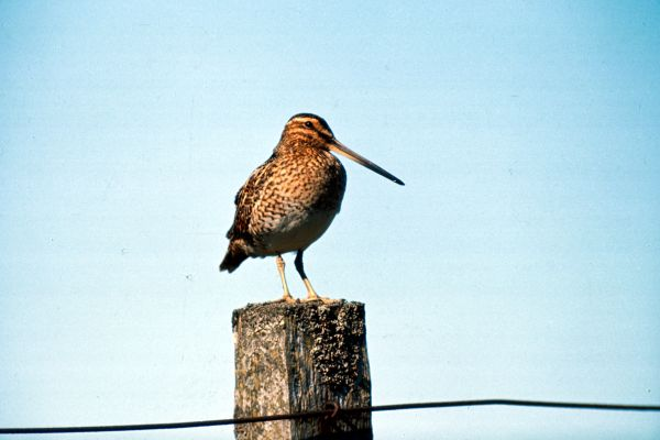 A Snipe perches on a fence post