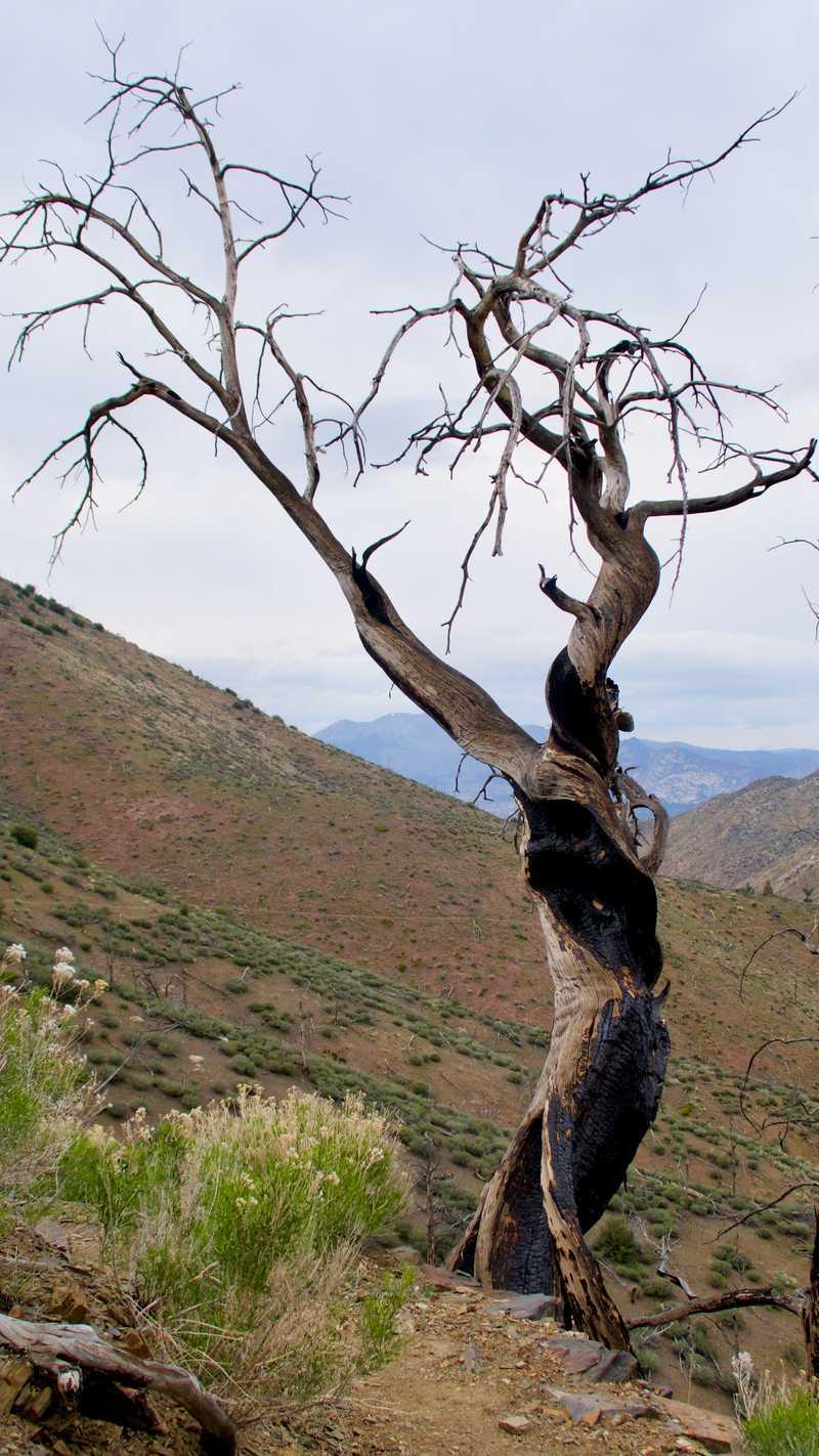 Twisted, burnt tree