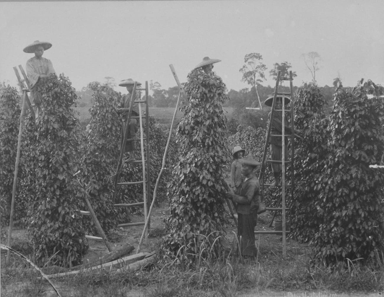 Workers at a pepper plantation, 1890s