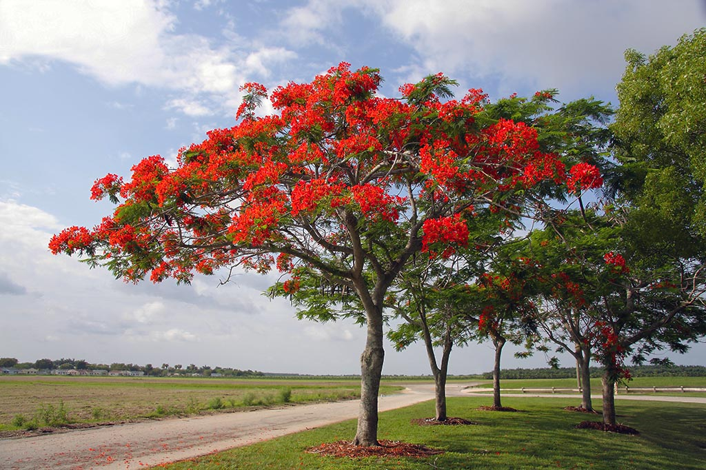 Gulmohar (Delonix regia) is also know as Peacock Flower, Flame of the Forest, and Flame Tree.